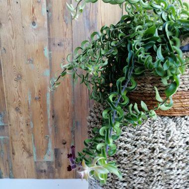lipstickplant hangplant kamerplant mand bloeiend
