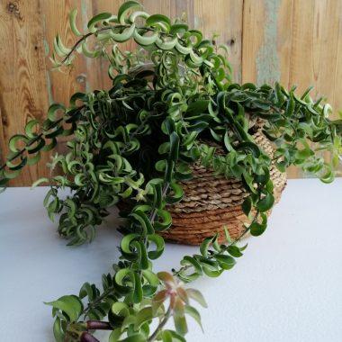 lipstickplant bloeiend hangplant kamerplant