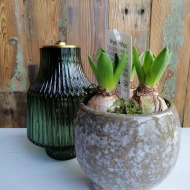 hyacint lamp sfeerlamp voorjaarsbloeier bloembol bloeiend geurend